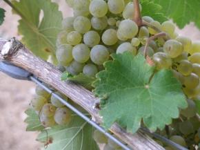 Uvas Brancas Quinta da Alegria